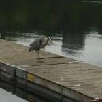 Husfågeln spottad vid Trekanten