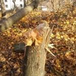 Nerhuggna träd vid villaområde