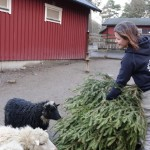 4 platser där du kan återvinna din julgran