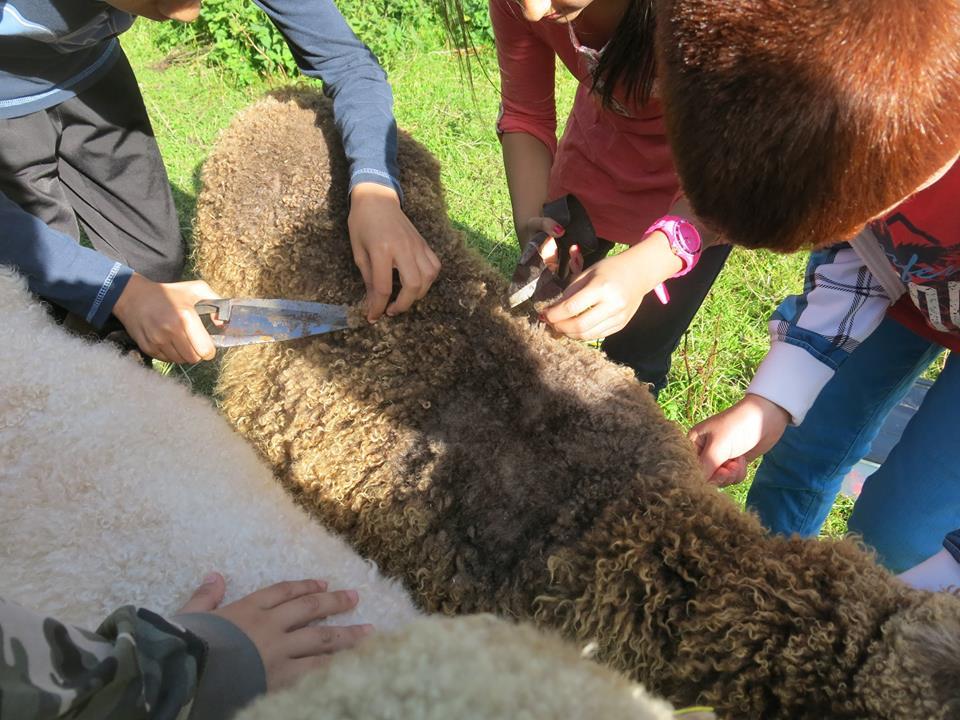 fårklippning