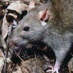 """""""Jag har aldrig sett så mycket råttor!"""""""