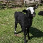 Nyfödd på 4H-gården