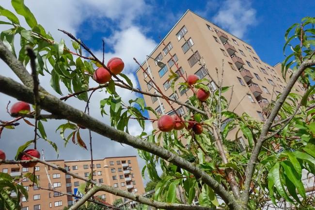 peaches (3 av 3)