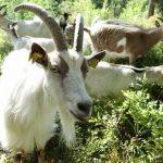 Förslag: Låt getter rädda Sätraskogen