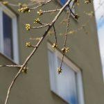 Krönika: Valborgsmässovägens körsbärsträd knoppar