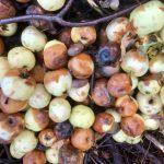Rekordår för återvinning av fallfrukt