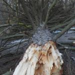 Bilder: Många träd i Sätraskogen fälldes av stormen