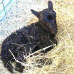 Nyfödda lamm i Eolshäll släpps ut i hagen