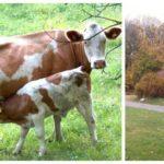 Insändare: Så kan vi barnfamiljer hjälpa till med kossorna i Sätraskogen