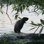 Film: Orädd bäver vid Gröndals klippbad
